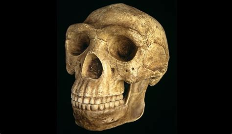 Homo erectus, our ancient ancestor   Natural History Museum
