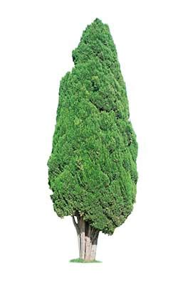 Cypress definition and meaning   Collins English Dictionary