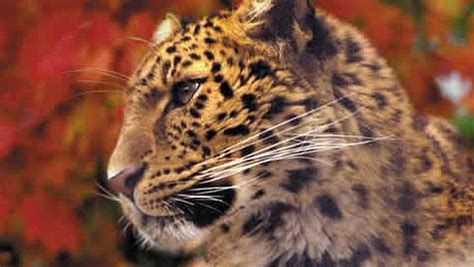 How many Amur leopards are left in the wild? - The Animal